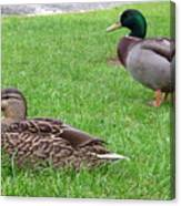 New Zealand - Pair Of Mallard Duck Canvas Print