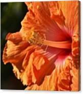 orange Hibiscus blossom Canvas Print