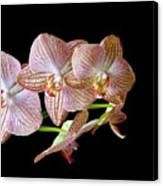 Orchid Phalaenopsis Flower Canvas Print