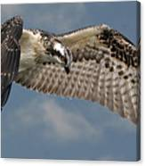 Osprey Flight Canvas Print