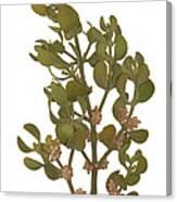 Pacific Mistletoe Canvas Print