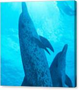 Pair Of Spotted Dolphins Canvas Print