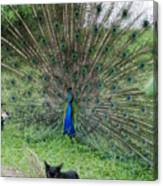 2 Peacocks And A Black Pussy Cat Canvas Print