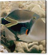 Picasso Triggerfish Canvas Print