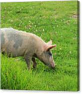 Pig In A Pasture Canvas Print