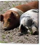 Pigs Canvas Print