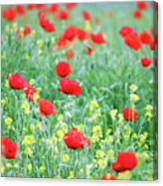 Poppy Flowers Meadow Spring Season Canvas Print