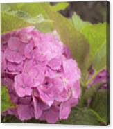 Purple Hydrangea At Rainy Garden In June, Japan Canvas Print