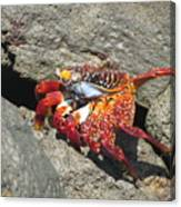 Red Rock Crab Canvas Print
