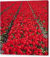 Red Tulip Fields Canvas Print