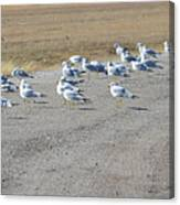 Ring Billed Gulls  Canvas Print