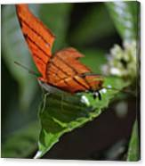 Ruddy Daggerwing Butterfly Canvas Print