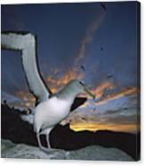Salvins Albatross At Sunset Canvas Print