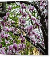 Saucer Magnolias In Central Park Canvas Print