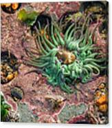 Sea Anemones Canvas Print