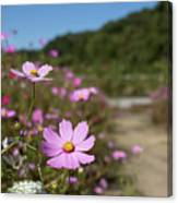 Sensation Cosmos Bipinnatus Fully Bloomed Colorful Cosmos On M Canvas Print