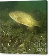Smallmouth Bass Protecting Eggs Canvas Print