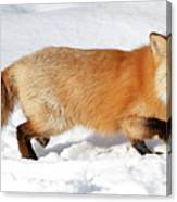 Sneaky Red Fox Canvas Print