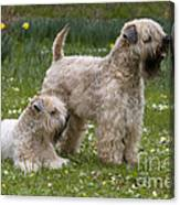 Soft-coated Wheaten Terriers Canvas Print