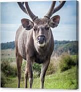 Sri Lankan Sambar Deer Male Canvas Print