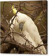 Sulfur Crested Cockatoo Canvas Print