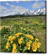 Teton Balsam Root Canvas Print