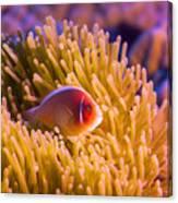 Tropical Fish Pink Clownfish Canvas Print