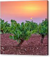 Vineyards At Pink Sunset Canvas Print