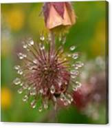 Water Avens Canvas Print