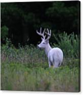 White Buck Canvas Print