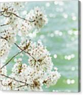 White Cherry Blossoms Trees Canvas Print