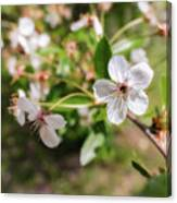 White Cherry Flower Canvas Print