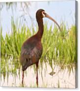 White Faced Ibis Canvas Print