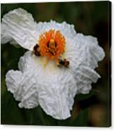 White Poppy And Bee Canvas Print