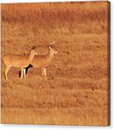White Tailed Deer Canvas Print