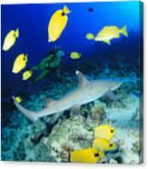 Whitetip Reef Shark Canvas Print