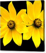 2 Yellow Daisies Canvas Print