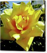 Yellow Rose Beauty Canvas Print