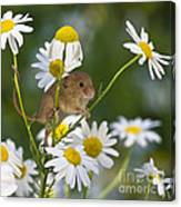 Young Eurasian Harvest Mouse Canvas Print