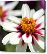 Zinnia Named Zahara Starlight Rose Canvas Print
