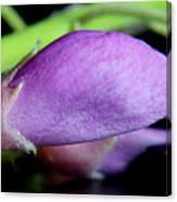 2010 Wisteria Blossom Up Close 14 Canvas Print