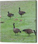 2016-canadian Geese And Babies Canvas Print
