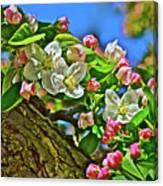 2016 Early May King Arthur Crabapple Canvas Print