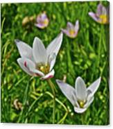 2016 Early May Meadow Garden Lady Jane Tulip Canvas Print