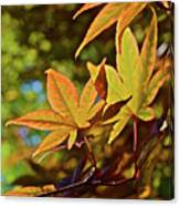 2016 Japanese Maple In The Sunlight Canvas Print