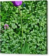 2016 Mid May  Exotic Purple Tulip Canvas Print