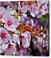 2017 Earthday Olbrich Gardens Fuji Cherry 1 Canvas Print