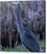 2018_3_09  Blue Heron-5652 Canvas Print
