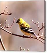 2164 - Goldfinch Canvas Print
