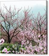 Blossoming Peach Flowers In Spring Canvas Print